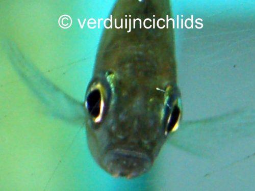 Aulonocranus
