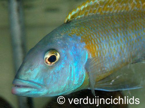 Buccochromis