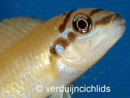Chalinochromis