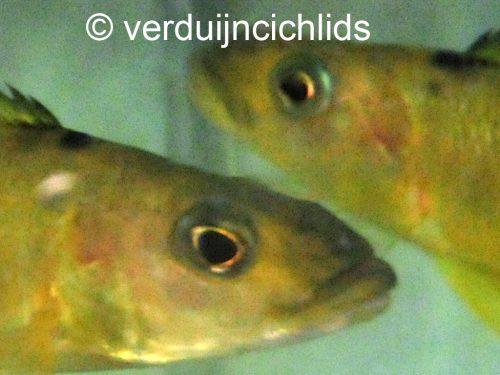 Exocochromis