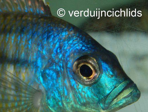 Taeniochromis