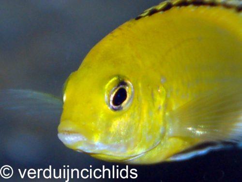 Labidochromis