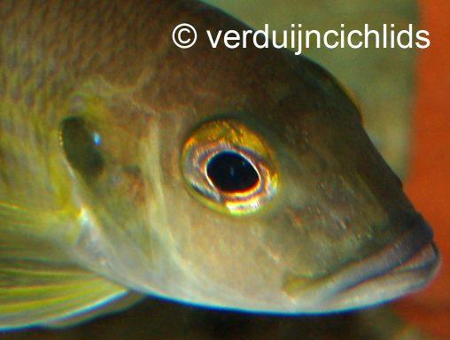 Limnochromis
