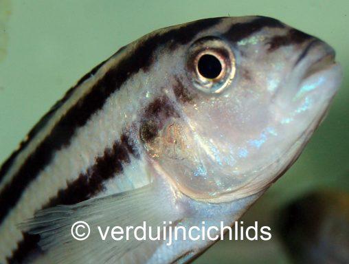 Melanochromis