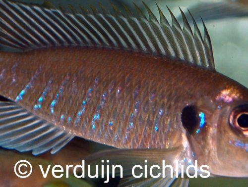 Triglachromis