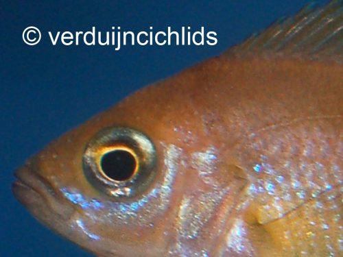 Variabilichromis