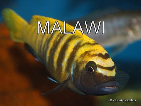 Malawi cichliden