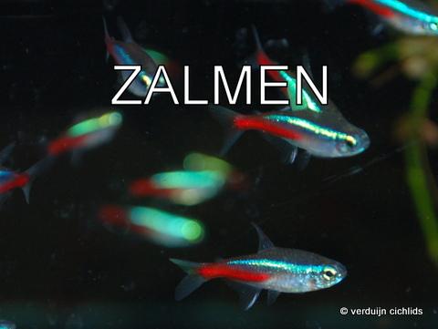 Zalmen