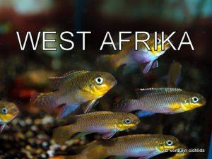 West Afrika cichliden